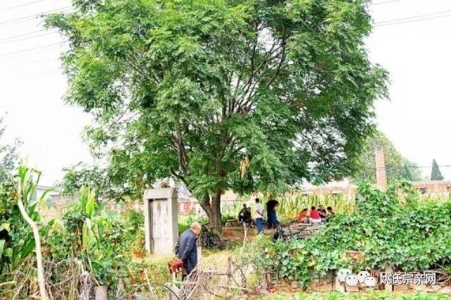 和先祖有故事的两棵椿树(元代理学家姚枢)